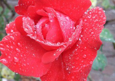 Lees meer over De beschadigde roos van Anja de Jong