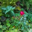 De beschadigde roos